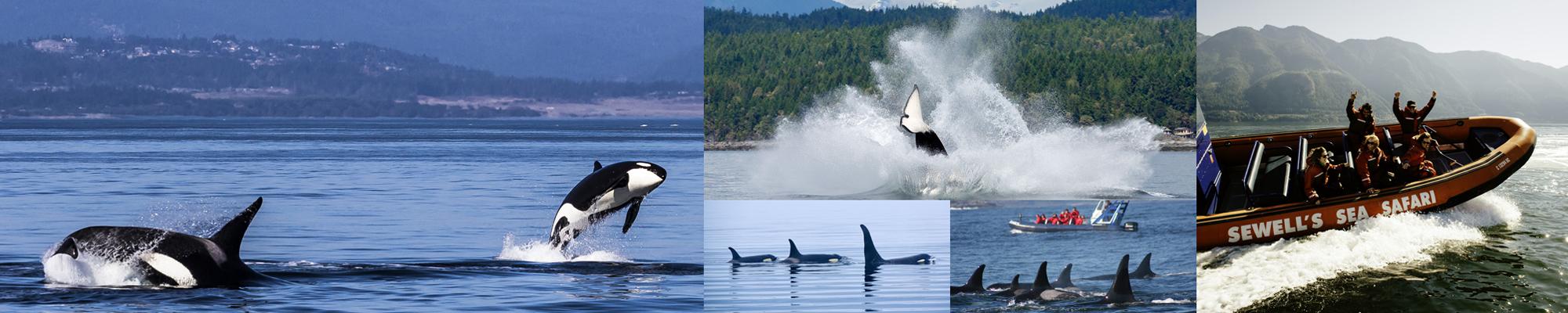 avvistamento orche e balene Canada