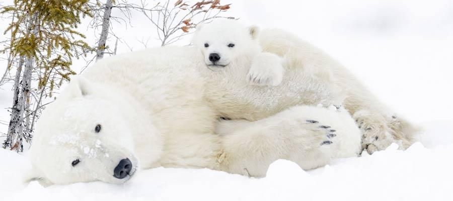 La regione del Manitoba in Canada: orsi polari