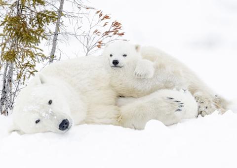 Orsi polari in provincia Manitoba