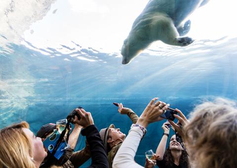 Orso polare nuota in provincia Manitoba