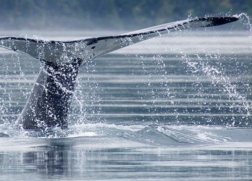 Una balena in Tadoussac, Quebec