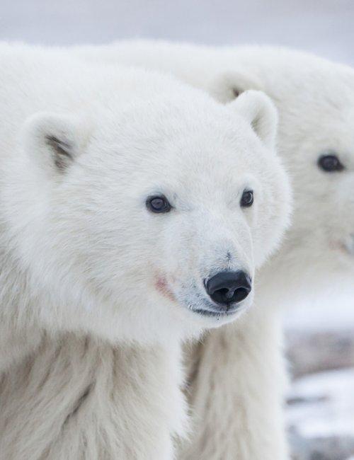 orsi polari Canada nord